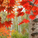 白樺林の紅葉(八千穂高原)のワイド壁紙