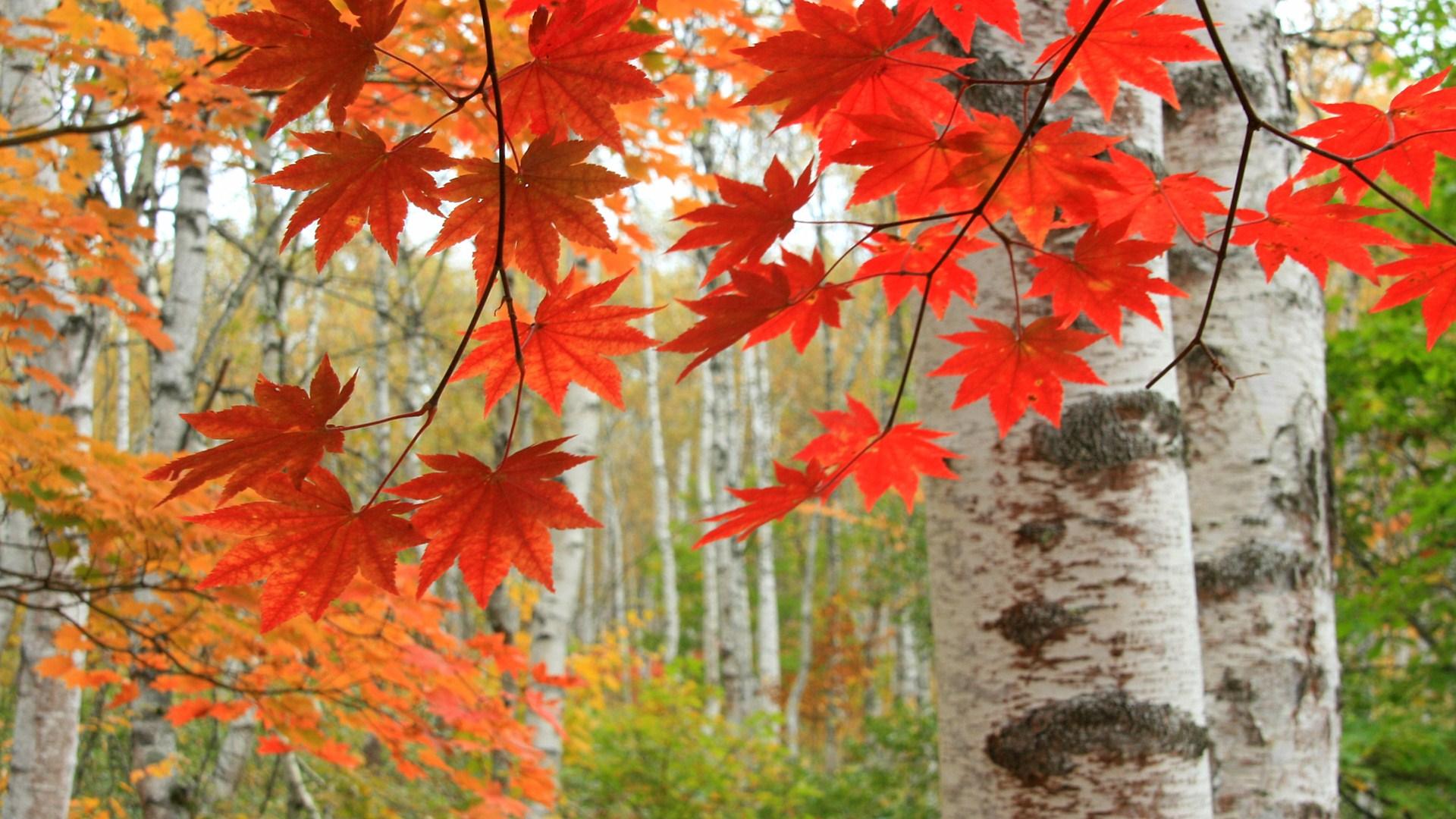白樺林の紅葉 八千穂高原 のワイド壁紙 カレンダー壁紙館 昴 無料ワイド