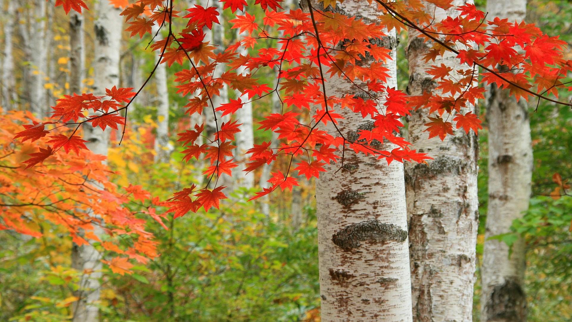 白樺林の紅葉 八千穂高原 のワイド壁紙19x1080 カレンダー壁紙館 昴 無料ワイド