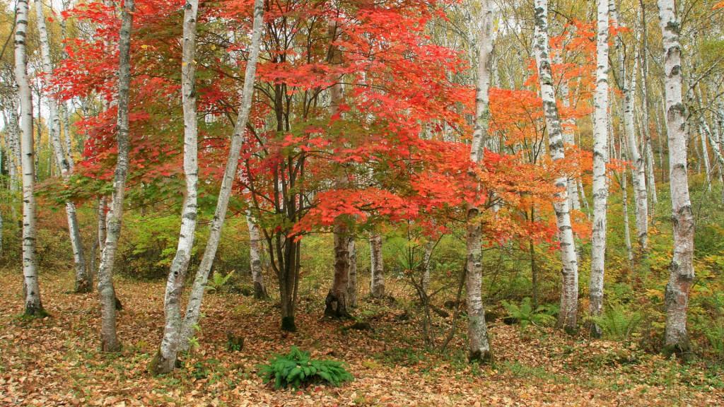 白樺林の紅葉