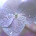 紫の紫陽花のワイド壁紙(1920x1080)