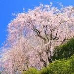 内山緑地の枝垂桜(1920x1080フルHDワイド壁紙)