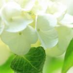 白い紫陽花のワイド壁紙(1920x1080)