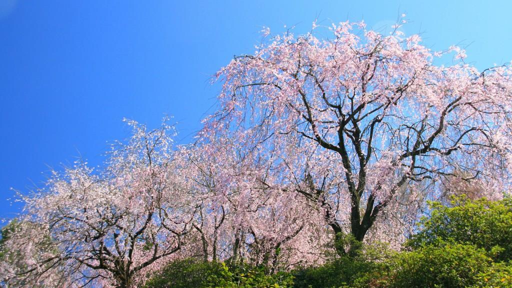 枝垂桜妖艶