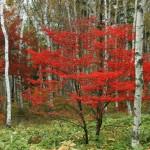 白樺林の紅葉(八千穂高原)のワイド壁紙1920x1080