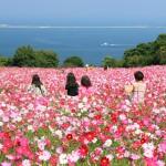 能古島、のこのしまのコスモス(1920x1080ワイド壁紙)