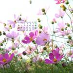 乱れ咲くコスモス(1920x1080ワイドカレンダー壁紙)