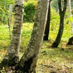 秋の白樺林(フルhd1920x1080ワイド壁紙)