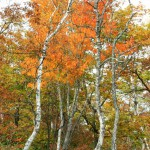 白樺林の紅葉(フルhd1920x1080ワイド壁紙)