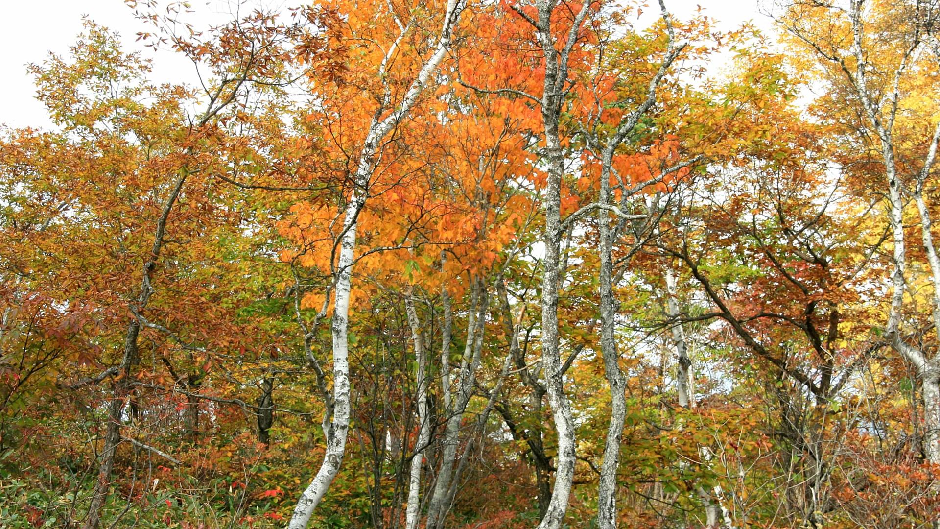 白樺林の紅葉 白樺林の紅葉 画像をクリックすればフルHD1920x1080の壁紙が表示... フ
