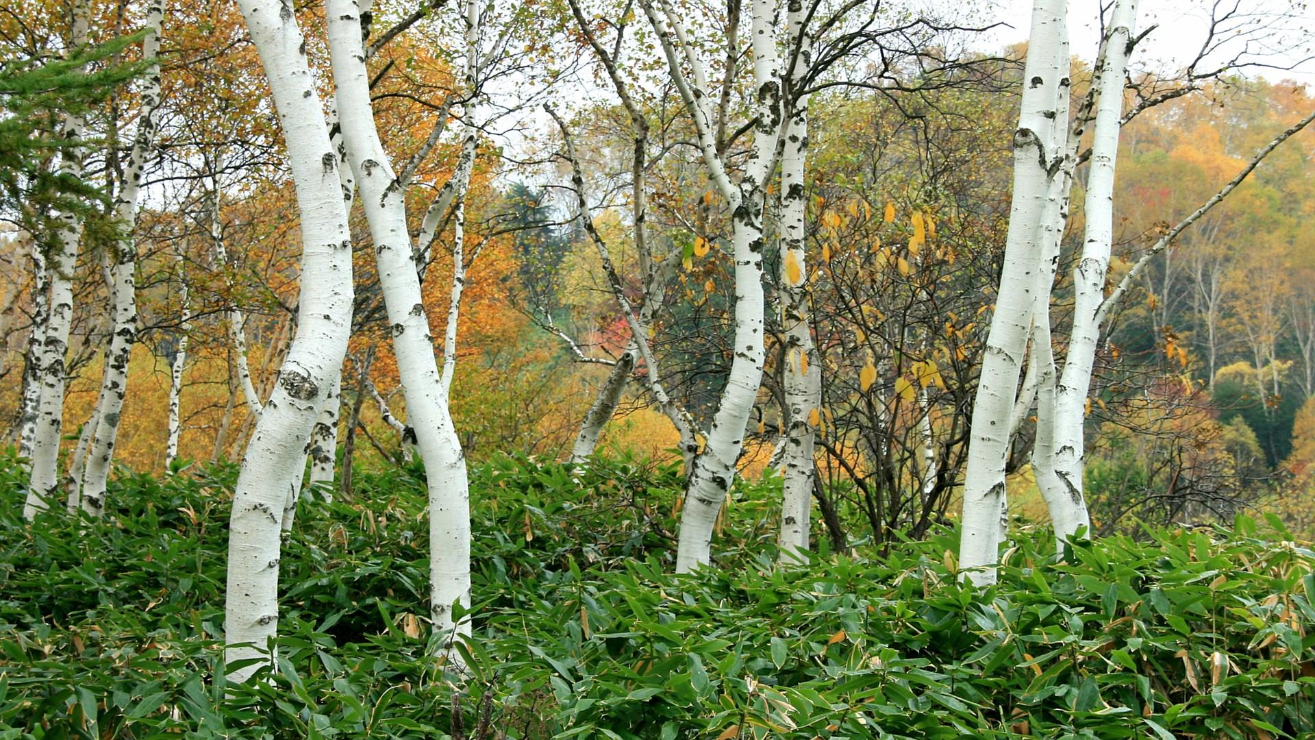 笹と白樺 笹と白樺 画像をクリックすればフルHD1920x1080の壁紙が表示され... フルh