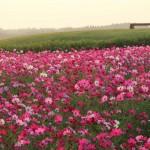 生駒高原コスモス園の朝(フルHD1920x1080ワイド壁紙)
