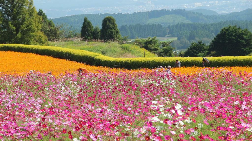 生駒高原コスモス園