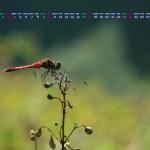 赤トンボ(2013年11月カレンダー1920x1080ワイド壁紙)