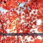 天を覆うもみじ(2013年11月カレンダー1920x1080ワイド壁紙)
