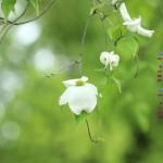 ハナミズキ(白花)