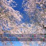 枝垂桜競演