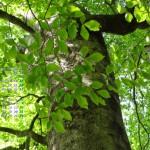 新緑のブナ大樹