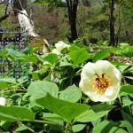 ヤマシャクヤク(深山に清楚に花開く)