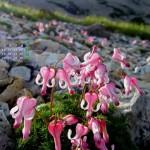 コマクサ、高山植物の女王(2014年8月カレンダー)