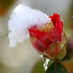 カレンダー壁紙/淡雪を冠った椿