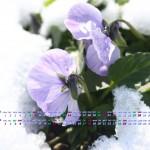 カレンダー壁紙/雪中花