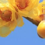 1月の花~蝋梅