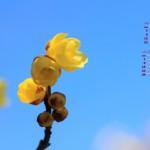 春の挨拶(ロウバイ)