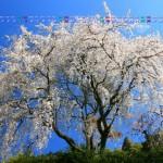 しだれ桜妖艶(内村緑地)