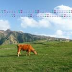 阿蘇の草原で草を食む牛