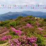 五月の山を彩るミツバツツジ(井原山)