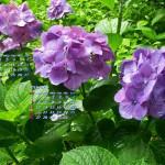 紫陽花三人娘