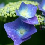 雨と紫陽花(1)