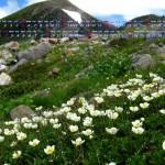 ハクサンイチゲの花開く白山