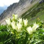 高嶺にひっそりと咲くトウヤクリンドウ