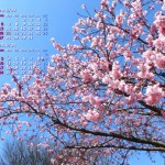 陽光桜満開