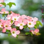 ハナミズキ(赤花)