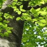 新緑のブナ若葉