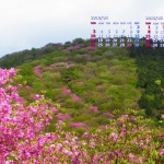 花の山(ミツバツツジ)