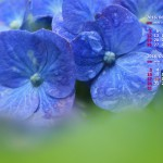 梅雨に似合う花、紫陽花