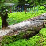 苔と倒木(南アルプス)