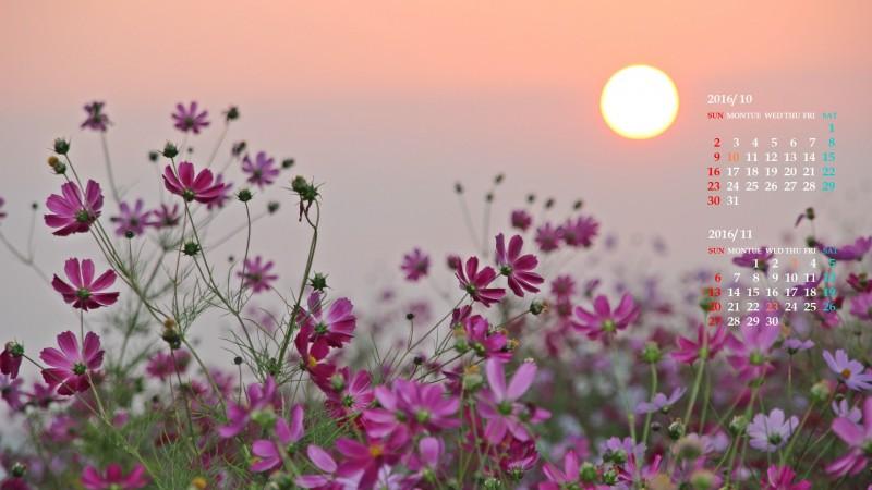 コスモス畑に昇る太陽