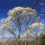 青空と木蓮の花
