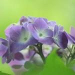 雨上がりの紫陽花(2017年6月カレンダー壁紙)