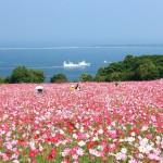 能古島のコスモスと博多湾