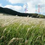 草原の風になびく芒の穂(阿蘇俵山)