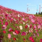 斜面一面に咲くコスモス(生駒高原)