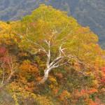 ダケカンバ黄葉