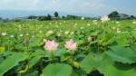 レンコン畑の蓮の花