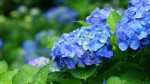 青い紫陽花のワイド壁紙(1920x1080)